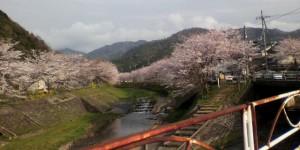 与保呂川の千本桜が満開です