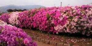 舞鶴の花はツツジ